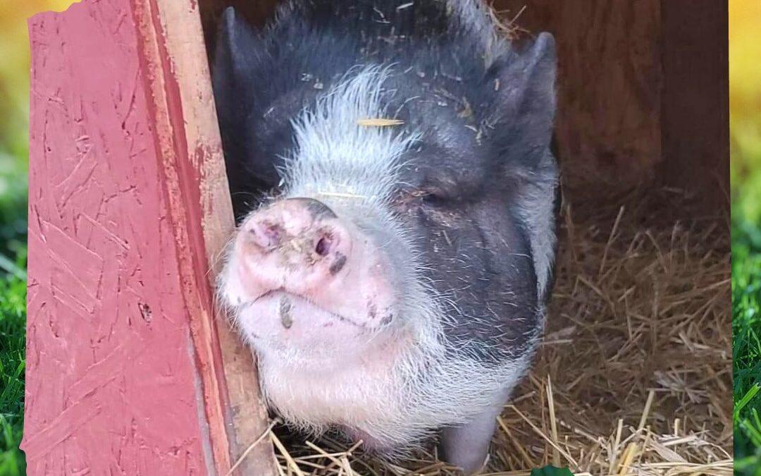 Millie (Circle A Farm)